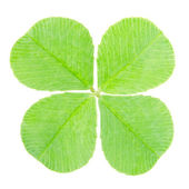 Green four leaf clover isolated — Stock Photo