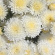 Royalty-Free Stock Photo: White and Yellow Chrysanthemums
