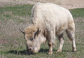 White American Bison — Stock Photo
