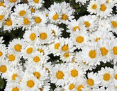 White Chrysanthemums — Stock Photo