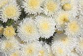 Crisantemi bianchi e gialli — Foto Stock
