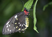 Black, Red, Yellow, and White Butterfly — Stock Photo