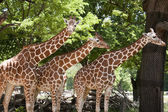 Three Giraffes at the Zoo — Stock Photo