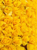 Yellow rose background — Stock Photo