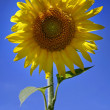 Royalty-Free Stock Photo: Beautiful sunflower with blue sky