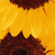Royalty-Free Stock Photo: Beautiful sunflowers as background - Detail of petals