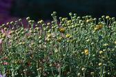 Chrysanthemum buds — Stock Photo