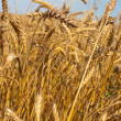 Stock Photo: Spikelets of wheat