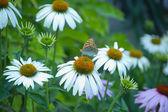 Las margaritas, mariposa — Foto de Stock