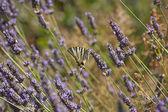Lavande papillon — Photo