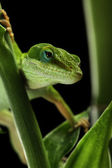 Anole lizard crawling through a plant at night — Stock Photo