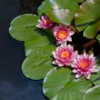 Water Lily — Stock Photo #6526349