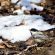 Black-capped Chickadee — Stock Photo #6538265
