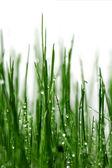 Gras mit wassertropfen — Stockfoto