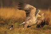 White tailed Eagle, haliaeetus albicilla — Stock Photo