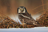 Northern Hawk Owl, Surnia ulula — Stock Photo