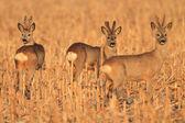 European Roe Deer (Capreolus capreolus) — Stock Photo