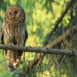 Royalty-Free Stock Photo: Ural owl (Strix uralensis)