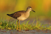 Wood Sandpiper / Tringa glareola — Stock Photo