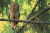 Ural owl (Strix uralensis) — Stock Photo