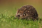 West European Hedgehog (Erinaceus europaeus) — Stock Photo