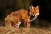 Fox vulpes vulpes — Stock Photo