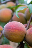 Peaches At A Tree — Stock Photo