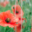 Red poppy field after rain — Stock Photo