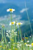 Beautiful wild chamomiles in mountains — Stock Photo