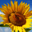 Sunflower on blue sky — Stock Photo