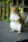 Squirrel with penny — Stock Photo