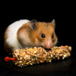 Hamster eating treat bar — Stock Photo