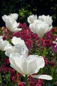 Tulipani bianchi — Foto Stock