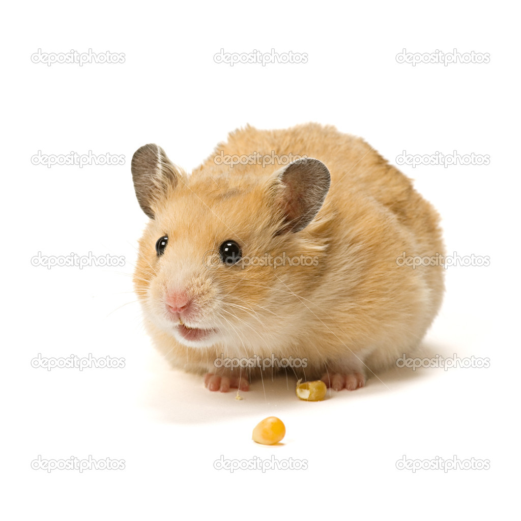 Alerted male hamster with corn seeds isolated on white background.  Stock Photo #6640658