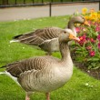 Geese in park — Stock Photo #6667470