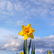 Photo: Daffodil