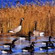 Several canadian geese pond marsh - Stock Photo