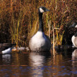 Three canadigeese pond — Stock Photo #6657482