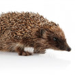 Adult hedgehog isolated on white — Stock Photo