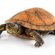 Tortoise pet animal isolated on white — Stock Photo
