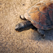 Turtle on the stone - Stock Photo