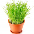 Green grass in the pot isolated — Stock Photo