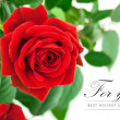 Stock Photo: Red rose with green leaves