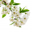 White flowers on the tree branch — Stock Photo