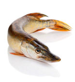 Predatory fish on the white — Stock Photo