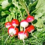 Fresh radish on the green grass — Stock Photo