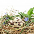 Quail eggs in a nest - Stock Photo