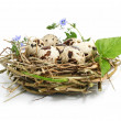 Quail eggs in a nest isolated on white - Stock Photo