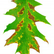 Stock Photo: One green oak leaf is texture of plant