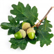 Постер, плакат: Green acorn fruits with leaves